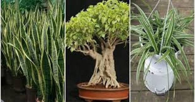 plantes donnants oxygènes